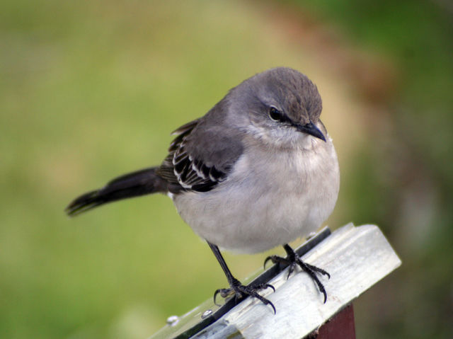 The Common Mockingbird Also State Bird Of Arkansas Mississippi Tennessee And Texas