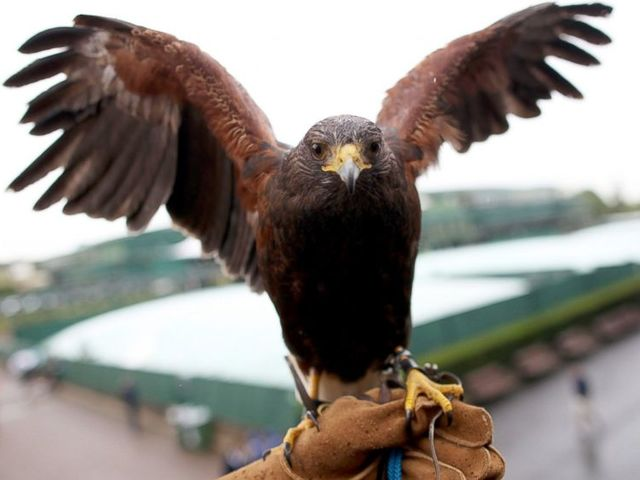 True or false: A Hawk flies around the stadium to scare away pigeons before gates open