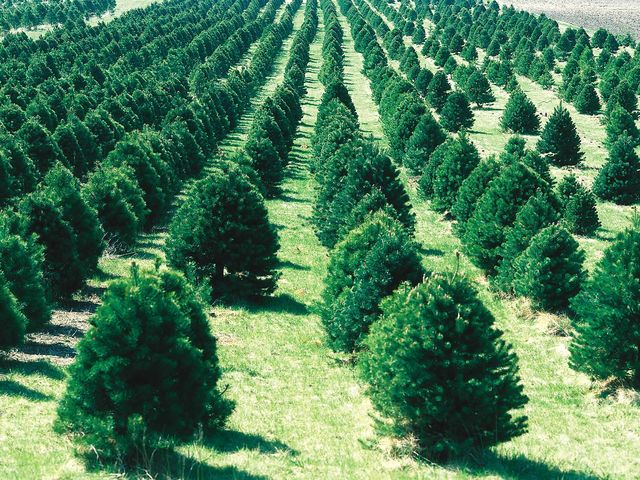 It takes a Christmas tree an average of 7 years to grow tall enough for decoration!