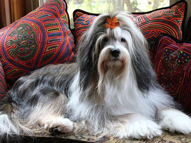 tibet dogge wiki