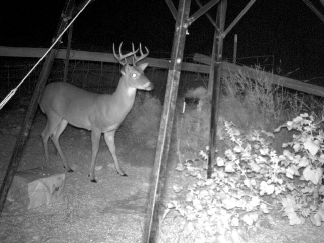 What are two colors white-tailed deer cannot see very well?