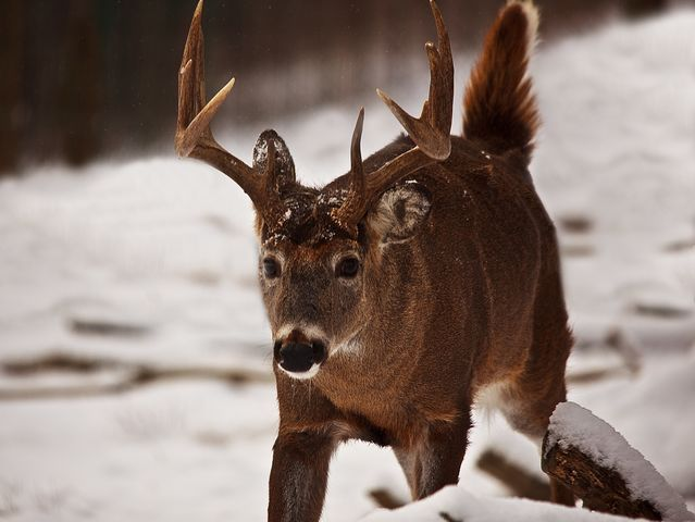 Deer have many major glands that allow them to create scents. Which of these is not one of those glands?
