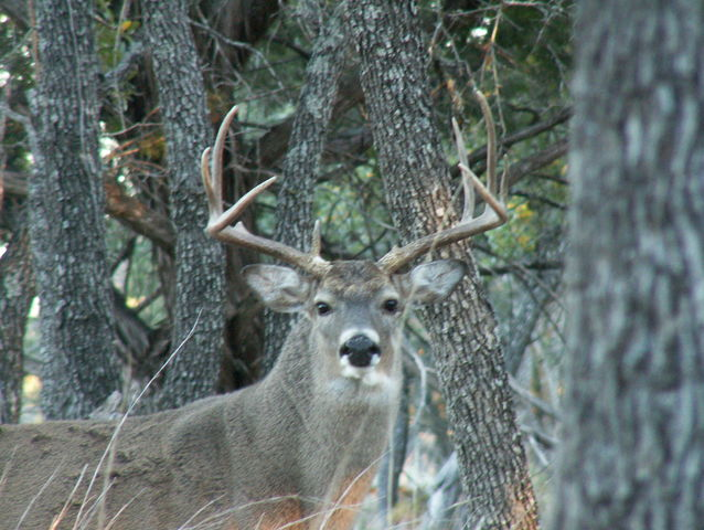 On average, a mature buck's antlers will grow...