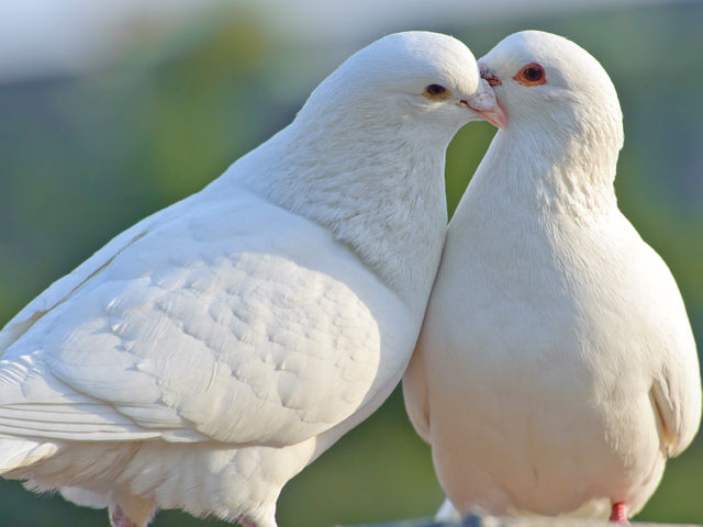 The holiday wasn't Christianized until the mid 1300s, and it was placed in February because February 14th was believed to be the start of mating season for many birds, hence the association between doves and V-Day.