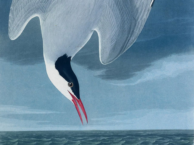 """The amazing Arctic tern can only be found here at the North Pole!"""