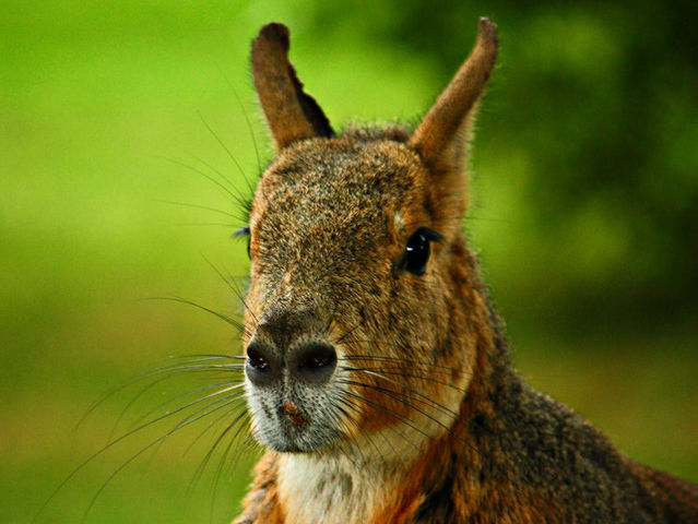 The patagonian mara is the right answer! These rodents are quite interesting, no?