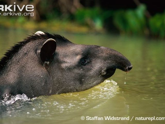 A tapir! When these water-loving animals are born, they have very cool markings!