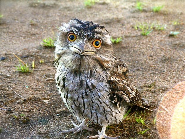 Tawny frogmouth! Indeed, you may think of this creature as an owl- but its not! Surprised?
