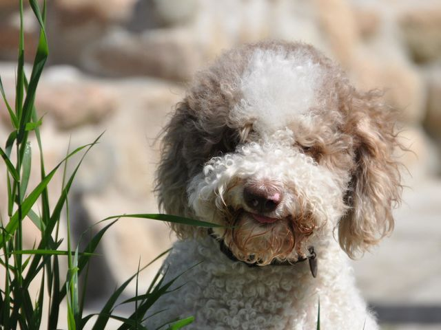 This Italian truffle hunting dog is a...