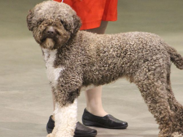 This is a lagotto romagnolo! Perhaps you have heard of them? A lagotto is pretty rare, but if you're into truffle hunting then they probably aren't rare to you!