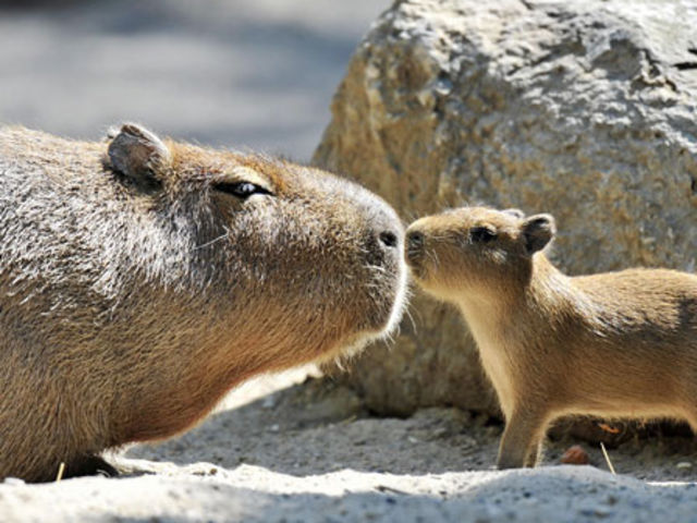 Hope you chose capybara! Surely you know the world's largest rodent, right? Surprisingly, this can be kept as a pet, huge, gigantic , or not!