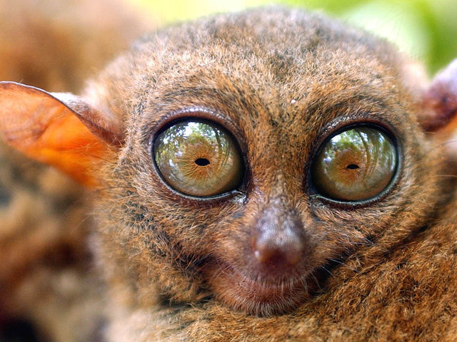 Yes, it is staring at me... and the name a tarsier with an 's'! Sadly, these are or may become endangered by illegal pet trade and such. But we can be sure they are kinda adorable!