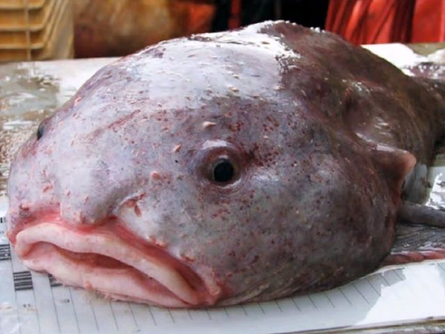 Believe it or not,  this is actually a real animal! The blobfish is a funny-looking fish with what looks like a nose, that is actually a flab of skin.