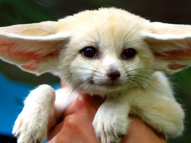 The answer is- this is a fennec fox! Fennec foxes are found in the Sahara of North Africa- their big adorable ears help with the heat!