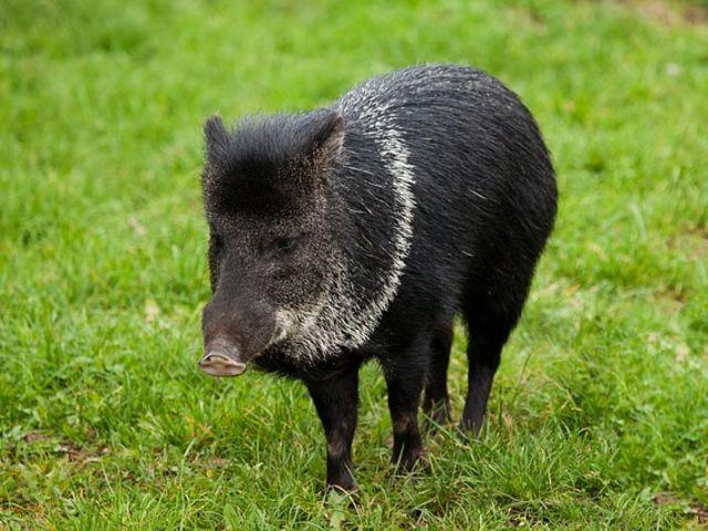 Que personagem do folclore às vezes aparece no lombo de um porco do mato?