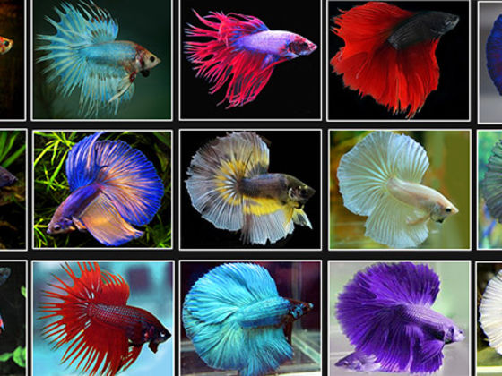 What type of betta fish are you playbuzz for Different types of betta fish