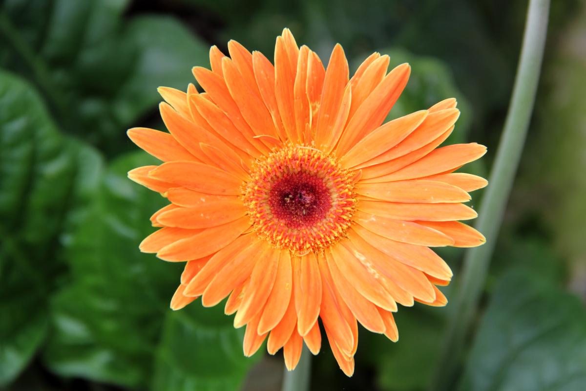 Daisy Flower Information In Marathi Wikipedia Flowers Healthy
