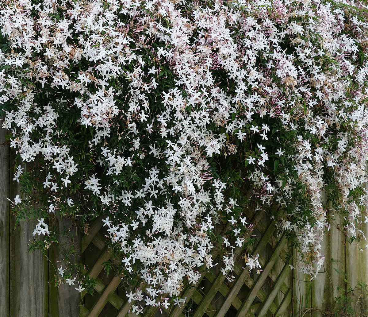 Different types of jasmine flowers with pictures images flower different types of jasmine flowers with pictures choice image different types of jasmine flowers with pictures izmirmasajfo