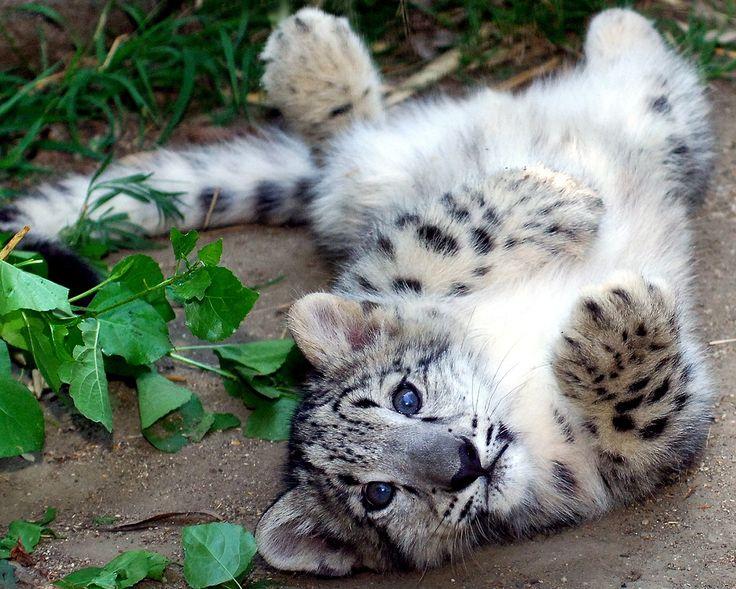 Snow Leopard Wallpaper 2000x1333 59086