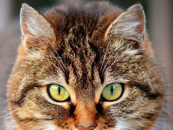 Which Exotic Cat Breed Are You