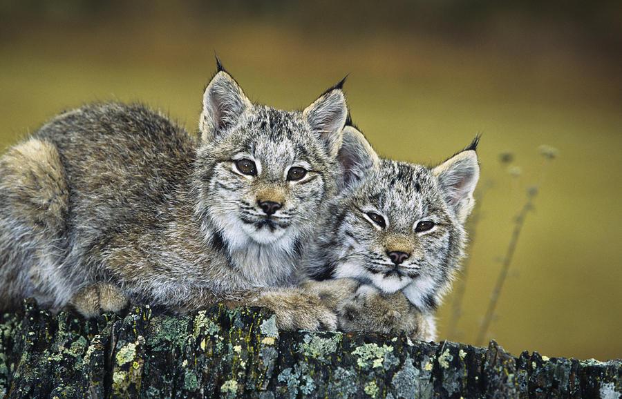 What Big Cat Are You Genus Panthera Ethology