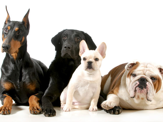 What's The Best Dog Breed For You To Get?