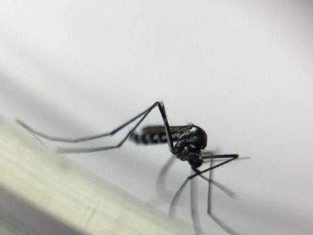 Este mosquito vive na mata e é um dos transmissores da febre amarela. Qual é a espécie?