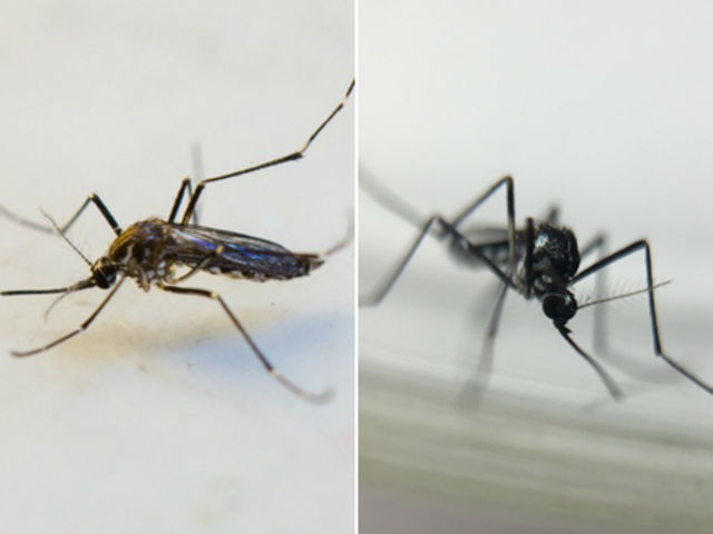 Qual é a diferença entre o Aedes aegypti e o Haemagogus?