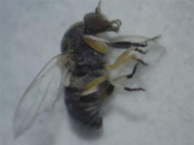 Da família Simuliidae, ele tem um apelido engraçado, dá muita coçeira e deixa uma marca vermelha na pele. Qual é este mosquito?