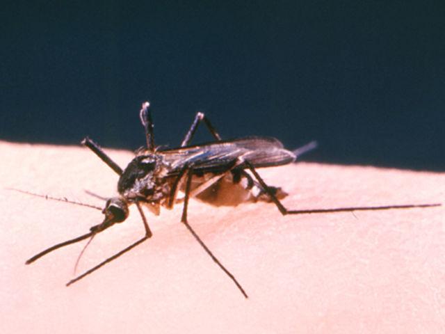 A encefalite é uma inflamação no cérebro geralmente causada por uma bactéria ou um vírus. Qual é o mosquito que o transmite?