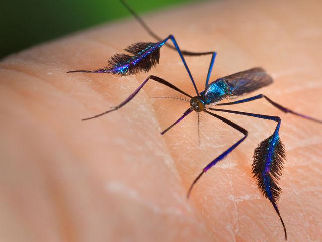 Este mosquito também é um dos transmissores da febre amarela e vive nas regiões silvestres do Brasil. Qual é?