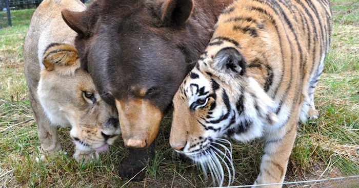This Bear Lion And Tiger Have Been Best Friends For 15