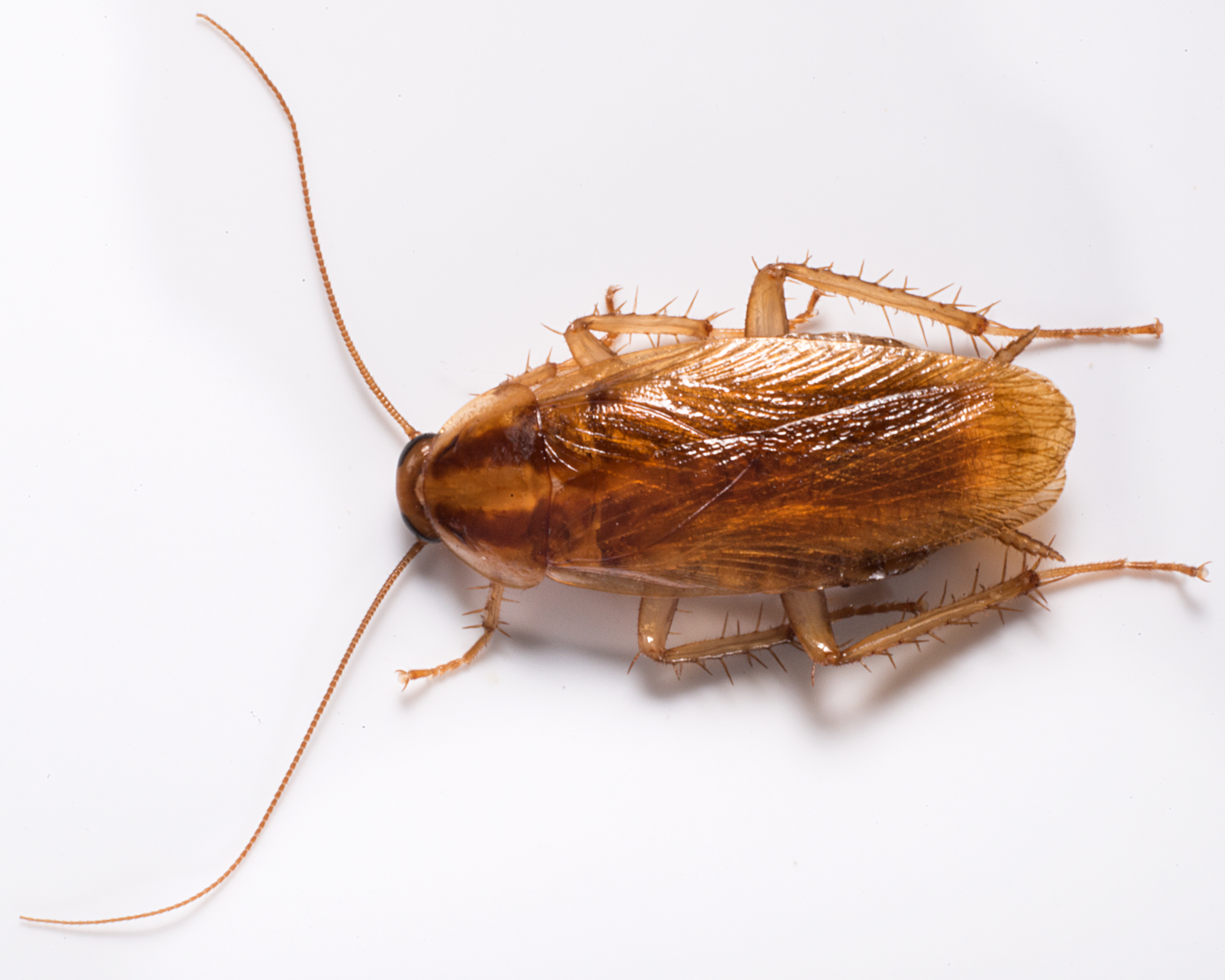 How Well Do You Know Your Cockroach Species Playbuzz - Cockroach us map