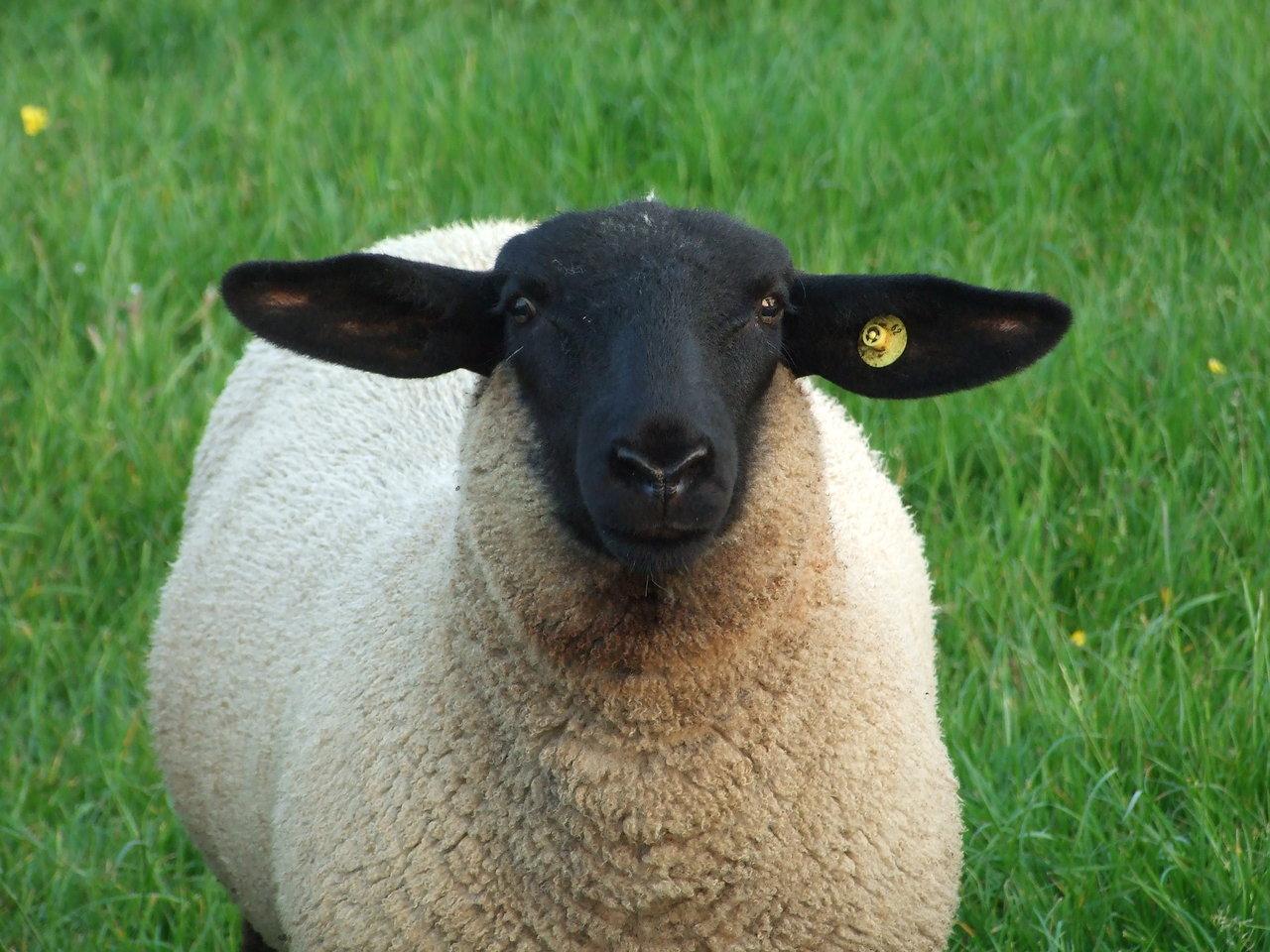 are you a suffolk sheep expert playbuzz