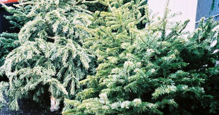 wie lange l sst du den weihnachtsbaum nach den feiertagen jeweils noch stehen playbuzz. Black Bedroom Furniture Sets. Home Design Ideas