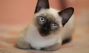 Facts You Never Knew About The Siamese Cat