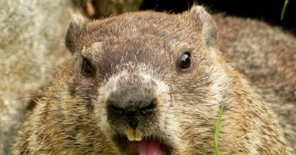 How Much Wood Would A Woodchuck Chuck If A Woodchuck Could ...