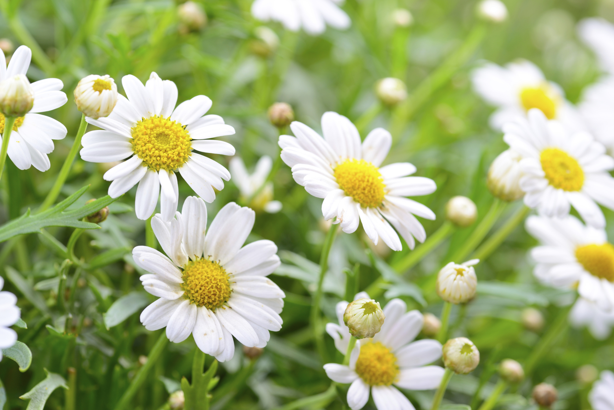 Famous white daisy flower meaning images wedding and flowers do you recognize these common flowers every adult should know izmirmasajfo Image collections