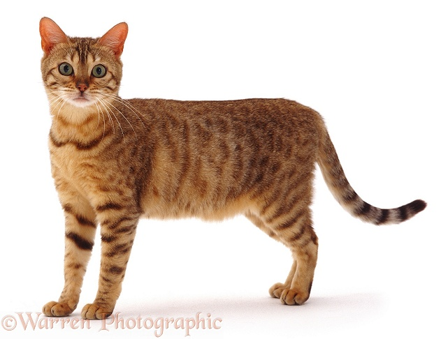 Image Gallery light brown cat