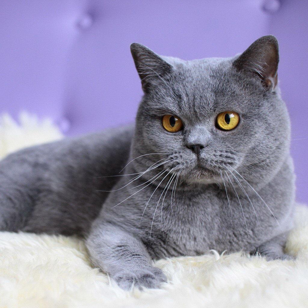 Which Cat Breed Should You Get