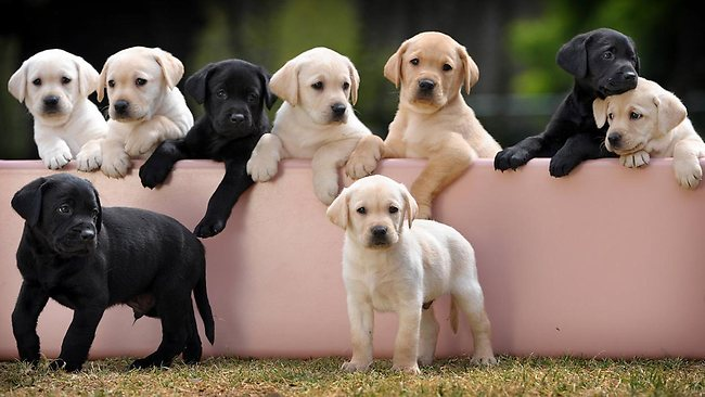 Black lab puppies melbourne