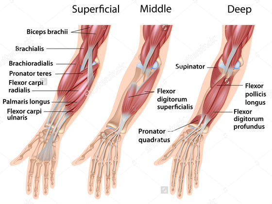 Wrist Flexors, Pronator and Supinator | Playbuzz