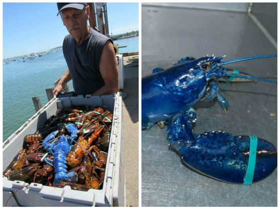 An Extremely Rare Blue Lobster Has Been Caught In Massachusetts, And It's BEAUTIFUL! | Playbuzz