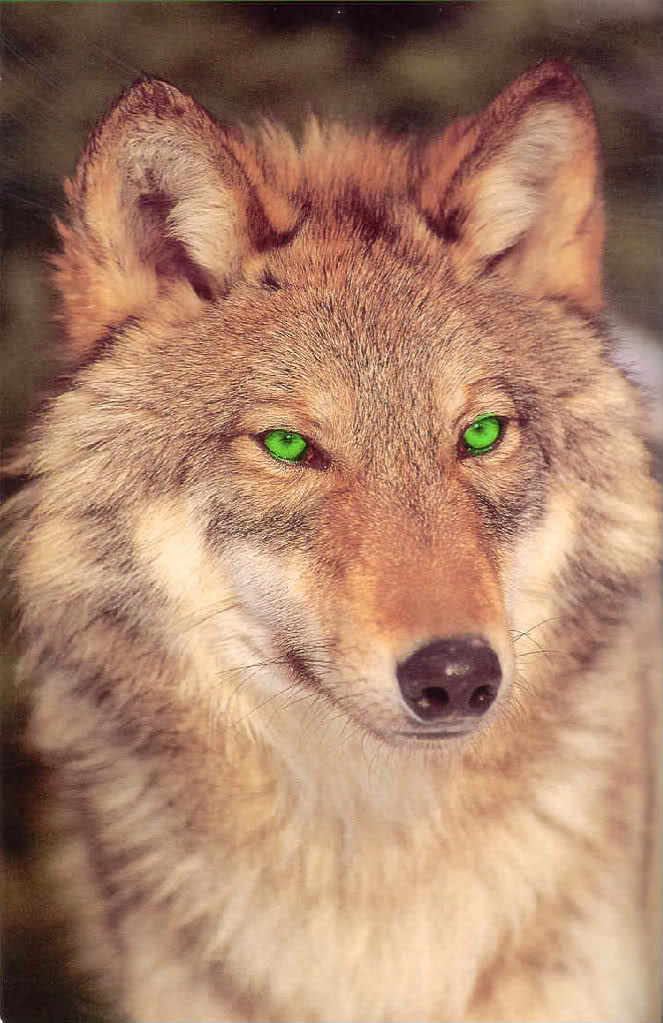Group Of Wolf Eyes Green