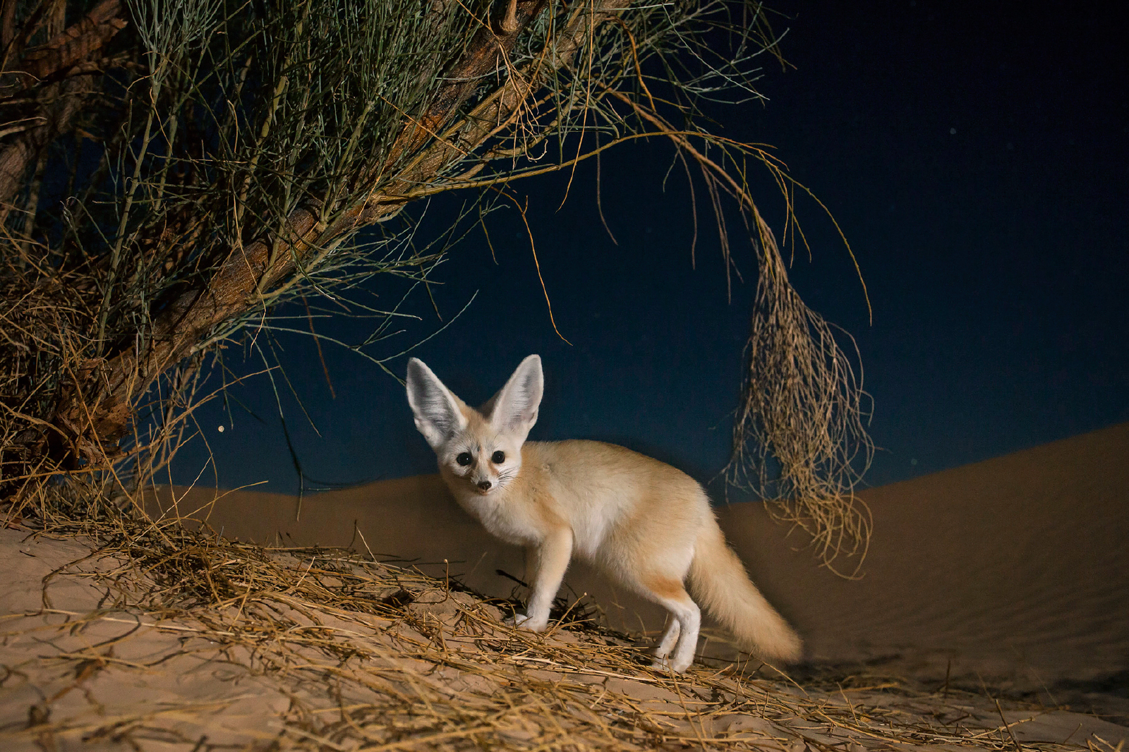 37 Fennec Fox HD Wallpapers | Backgrounds - Wallpaper Abyss