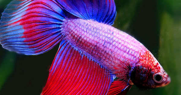 How much do you know about betta fish playbuzz for How much is a beta fish