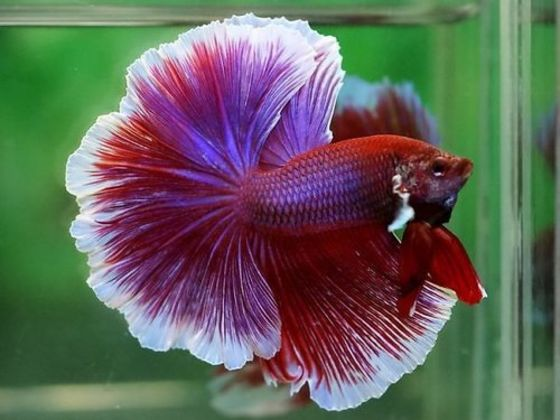 How much do you know about betta fish playbuzz for How much are betta fish