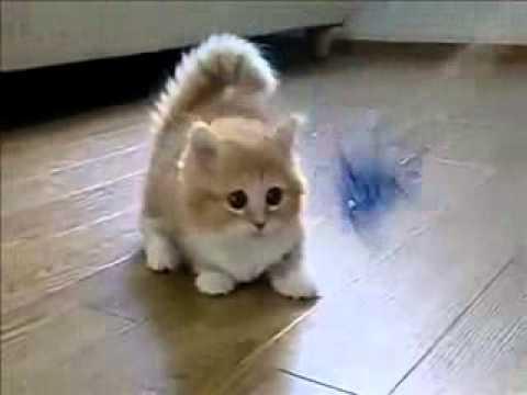 midget cat
