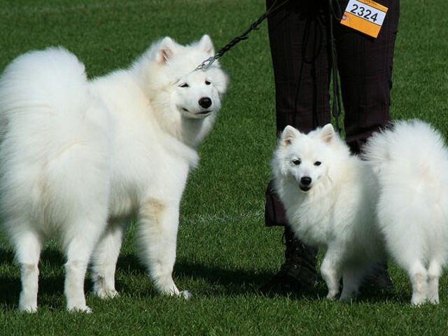 Husky Samoyed Or Malamute Playbuzz