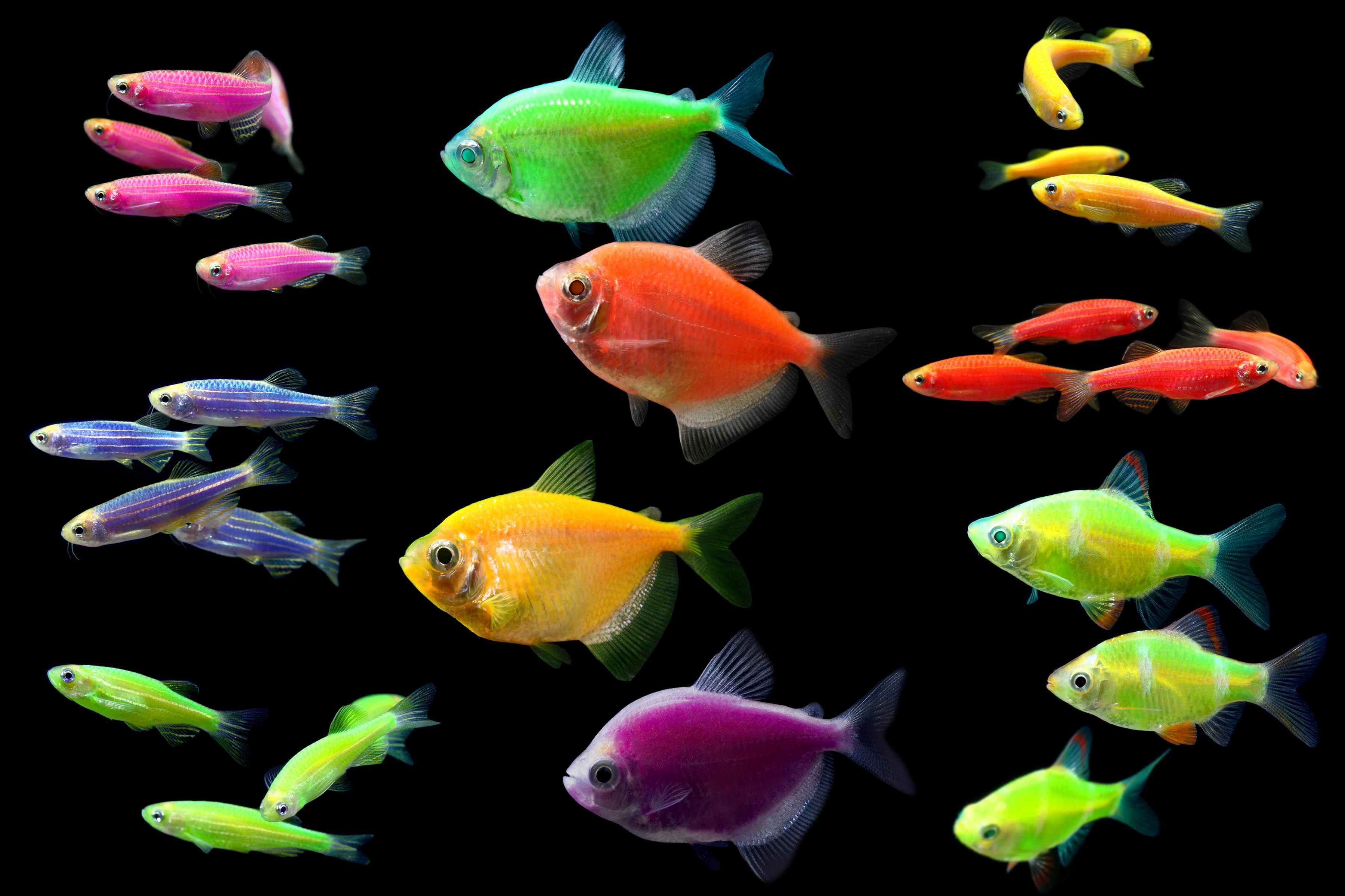 Freshwater aquarium fish neon - Freshwater Aquarium Fish Neon